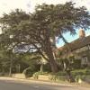 Bath Street's Cedar is Frome's favourite tree