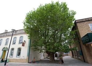 Plane Tree Irongates